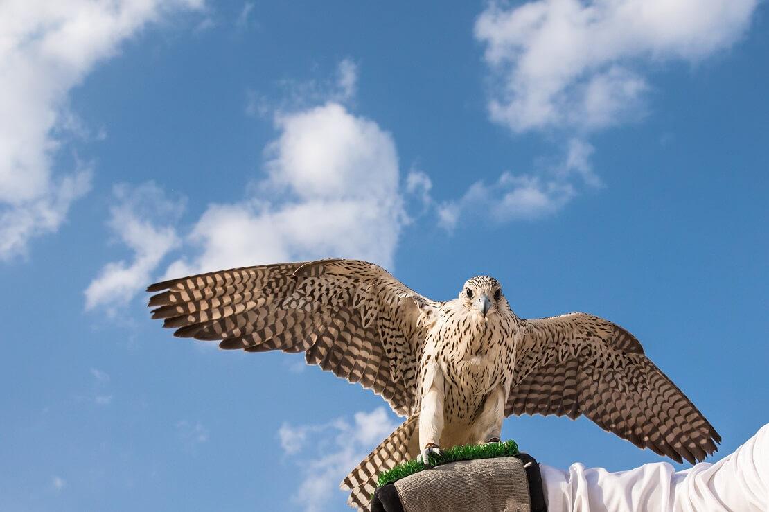 Das kritische Auge des Falken im Abu Dhabi Golf Club