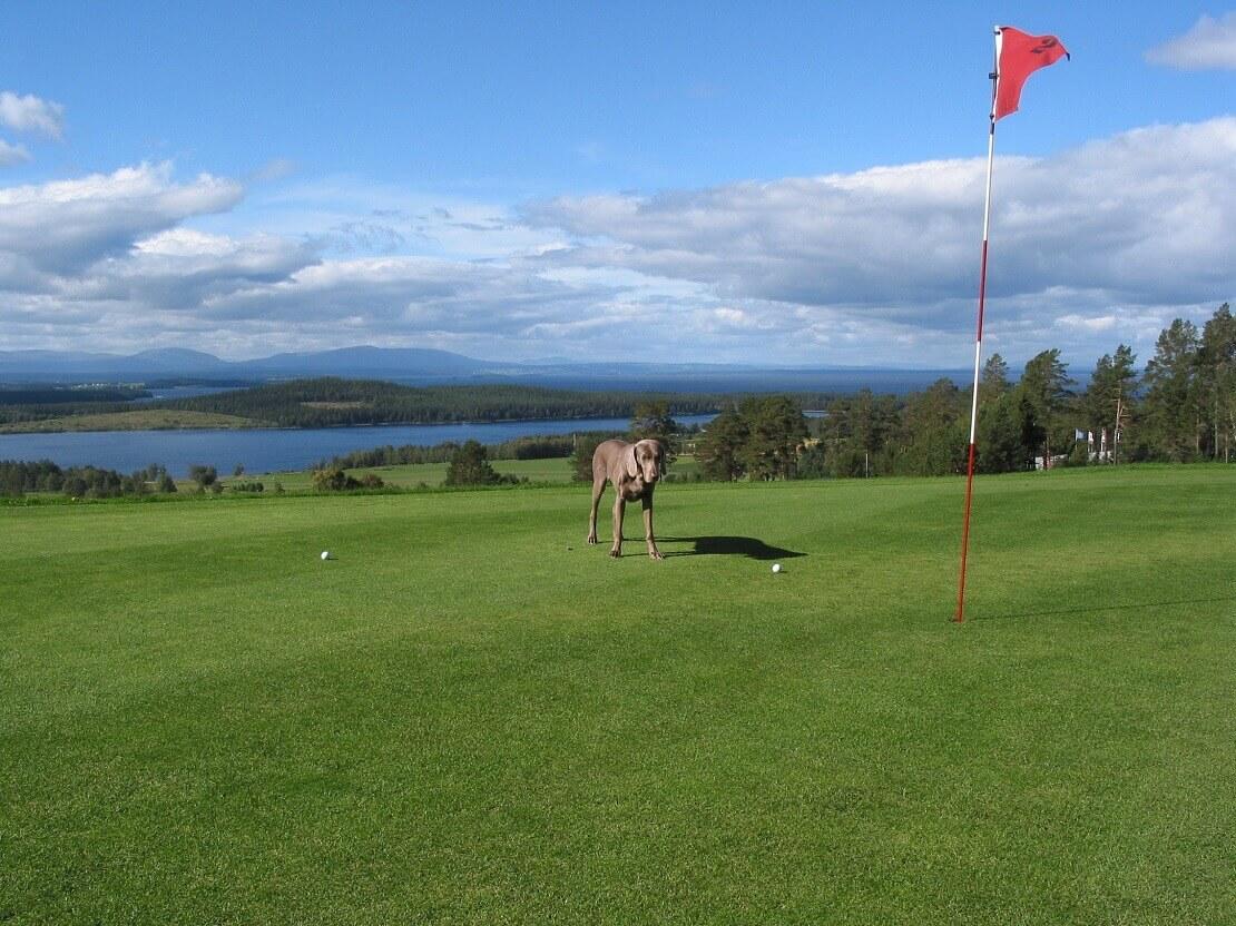 Hund steht vor dem Ball und Loch auf einem Golfplatz